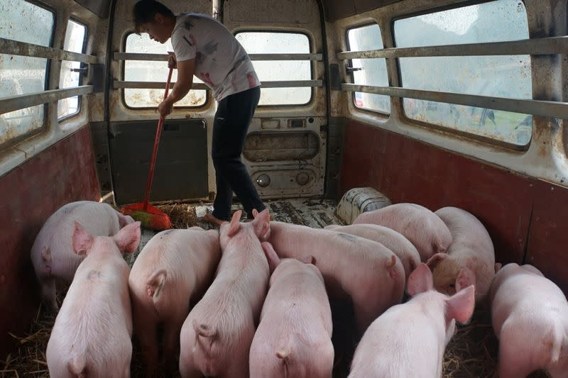 Man sweeps next to pigs kept temporarily inside a vehicle in Baise