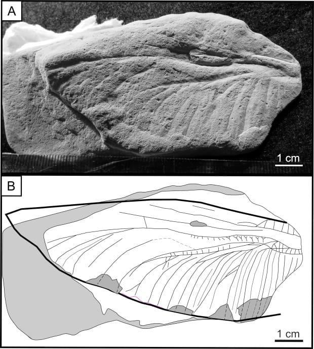 This is the fossil of a dragonfly wing found at Grand Lake. (New Brunswick Museum/Twitter - image credit)