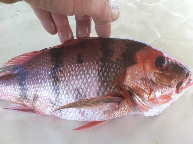 This 2011 photo provided by Donald Waters shows a fish harvested from the Gulf of Mexico with unusual lesions and infections. Two years after the Deepwater Horizon rig exploded and sank, touching off the worst offshore spill in U.S. history, the latest research into its effects is starting to back up those early reports from the docks: The ailing fish bear hallmarks of diseases tied to petroleum and other pollutants. (AP Photo/Courtesy Donald Waters)