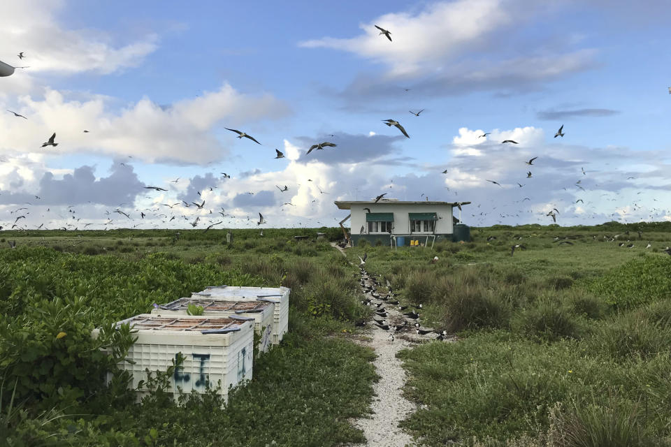 In this June 23, 2020, photo provided by Charlie Thomas, seabirds fly over a field camp on Kure Atoll in the Northwestern Hawaiian Islands. Cut off from the rest of the planet since February, four environmental field workers are back, re-emerging into a society changed by the coronavirus outbreak. (Charlie Thomas/Hawaii Department of Land and Natural Resources via AP)