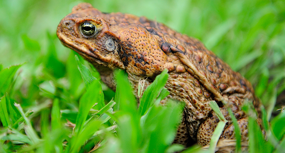 A cane toad sitting in the grass.