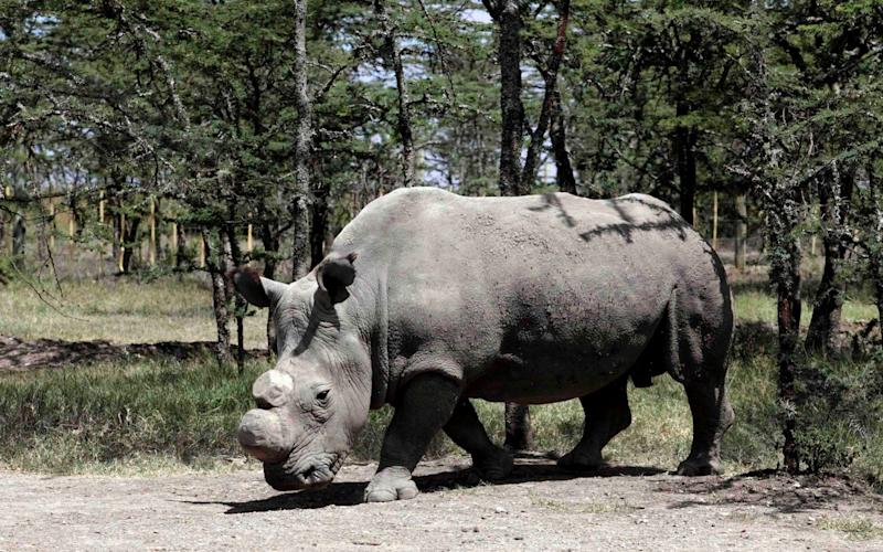 Sudan, the last male Northern White Rhinoceros, died in 2018 - Reuters