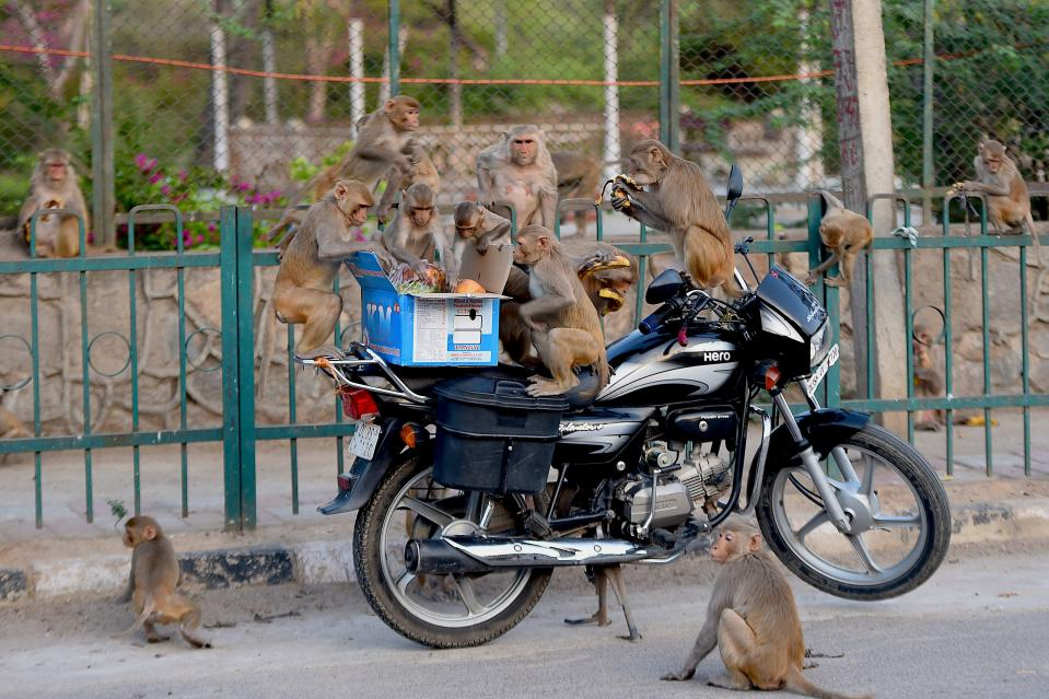 Monkeys get on a motorcycle to eat fruits from a box during a government-imposed nationwide lockdown as a preventive measure against the COVID-19 coronavirus in New Delhi on April 10, 2020.(Photo by MONEY SHARMA/AFP via Getty Images)