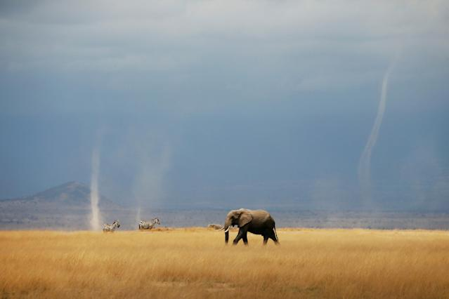 <p>A whirlwind is seen as an elephant and zebras walk through the Amboseli National Park, Kenya. (Reuters) </p>