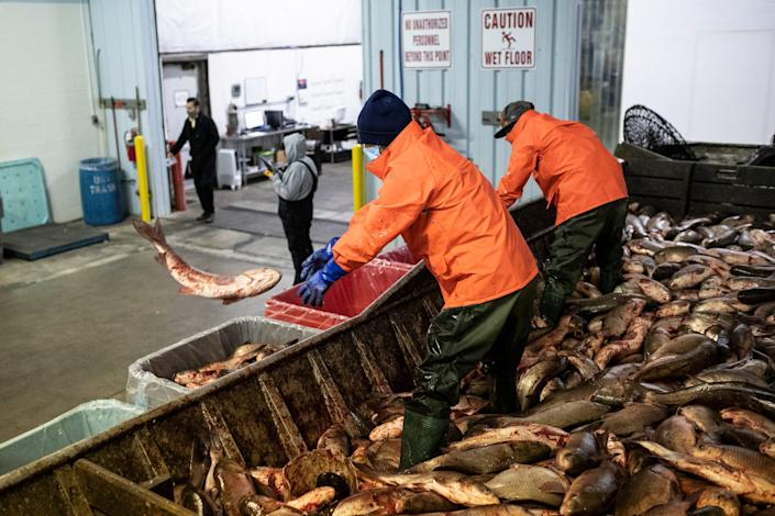 Product analyst Daniel Webber, center, left, and operation processor Zach McGinnis take carps off a boat and throw them in tote boxes based the species at Sorce Enterprise in Peoria, Ill., Wednesday, Feb. 3, 2021.