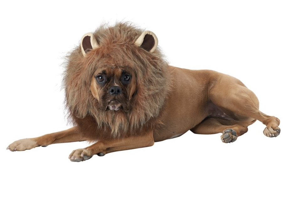 brown dog wearing brown furry King of The Jungle Pet Costume