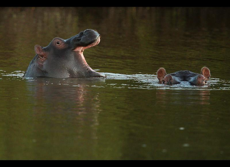 Hippopotamuses relax in the Limpopo river at Pafuri. <em>Photo by Cameron Spencer/Getty Images</em>