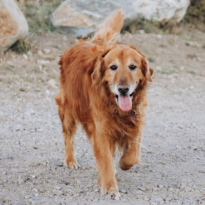 Morris Animal Foundation is partnering with Elanco Animal Health Incorporated to better understand the incidence and prevalence of osteoarthritis in dogs, using data generated by the Foundation's Golden Retriever Lifetime Study. Osteoarthritis is one of the most common causes of chronic pain in dogs, affecting approximately 14 million adult dogs in the United States alone.