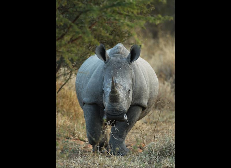 A rhinoceros walks to a watering hole in Edeni Game Reserve. <em>Photo by Cameron Spencer/Getty Images</em>