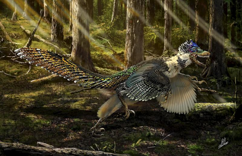 A reconstruction of the new short-armed and winged feathered dinosaur Zhenyuanlong suni from the Early Cretaceous (ca. 125 million years ago) of China is seen in this illustration image provided by the University of Edinburgh on July 15, 2015. Scientists have unearthed a spectacularly preserved, nearly complete fossil in northeastern China of a feathered dinosaur with wings like those of a bird, although they doubt the strange creature could fly. The researchers on July 16, 2015 said the fast-running meat-eater was about 6 feet (1.8 meters) long and covered with simple hair-like feathers over much of its body, with large, quill-like feathers on its wings and long tail. REUTERS/Chuang Zhao/University of Edinburgh/Handout via Reuters ATTENTION EDITORS - FOR EDITORIAL USE ONLY. NOT FOR SALE FOR MARKETING OR ADVERTISING CAMPAIGNS. THIS PICTURE WAS PROVIDED BY A THIRD PARTY. REUTERS IS UNABLE TO INDEPENDENTLY VERIFY THE AUTHENTICITY, CONTENT, LOCATION OR DATE OF THIS IMAGE. THIS PICTURE IS DISTRIBUTED EXACTLY AS RECEIVED BY REUTERS, AS A SERVICE TO CLIENTS. NO SALES. NO ARCHIVES.