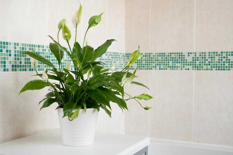 Spathiphyllum (Peace Lily) in white ceramic pot in front of mosaics of green and plain cream ceramic wall tiles. Focus is on centre of plant with depth of field blur.