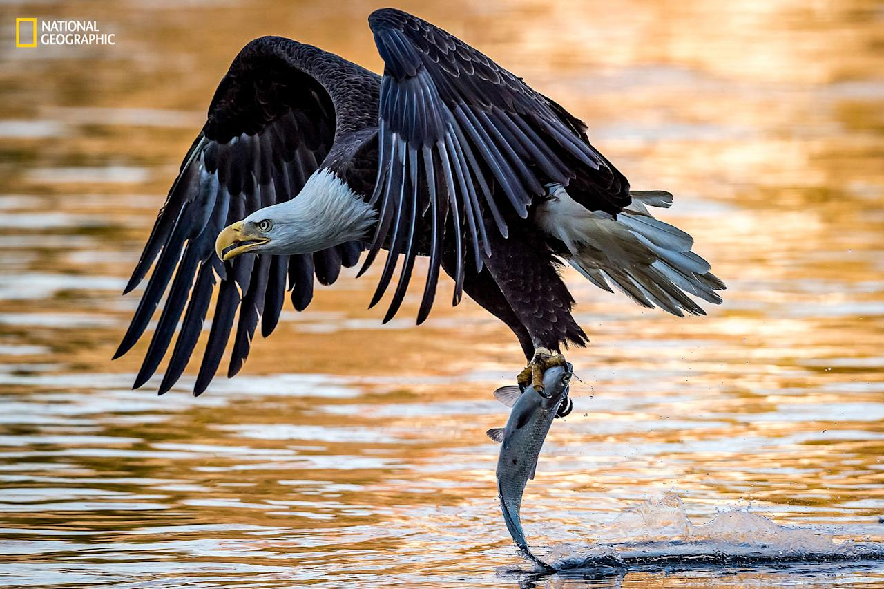 <p>Photo and Caption by Eric Esterle/2016 National Geographic Nature Photographer of the Year. —A mature bald eagle drags the tail of a fish across the surface of the water after picking it up out of the Susquehanna river. It was late in the day when the sun was setting casting an orange hue over the water. </p>