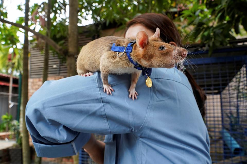 Magawa, the recently retired mine detection rat, plays with its previous handler (REUTERS)