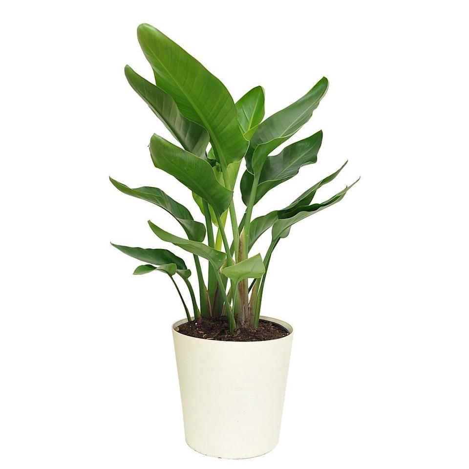 """<p><strong>Costa Farms</strong></p><p>homedepot.com</p><p><a href=""""https://go.redirectingat.com?id=74968X1596630&url=https%3A%2F%2Fwww.homedepot.com%2Fp%2FCosta-Farms-10-in-White-Bird-in-Paradise-Planter-CO-3-WB11-PARWHT%2F313597346&sref=https%3A%2F%2Fwww.elledecor.com%2Fshopping%2Fbest-stores%2Fg19574855%2Fbuy-plants-online%2F"""" rel=""""nofollow noopener"""" target=""""_blank"""" data-ylk=""""slk:Shop Now"""" class=""""link rapid-noclick-resp"""">Shop Now</a></p><p>You might only think of the Home Depot if you're tackling a renovation, but the retailer also offers a wide selection of both indoor and outdoor plants at reasonable price points. From fiddle-leaf fig floor plants to rubber plant varieties, the options are endless. The retailer also carries a wide assortment of care supplies, including fertilizers, to make your plant-shopping experience as stress-free as possible.</p>"""