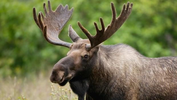 The proposed mine is in the Liscomb Game Sanctuary, which is habitat for the endangered mainland moose population.