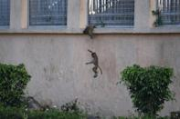 Monkeys have been seen entering government buildings in search of food during the virus lockdown