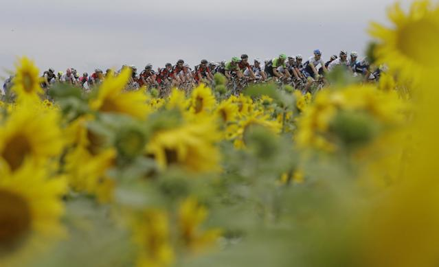 The pack passes a field of sunflowers during the seventh stage of the Tour de France cycling race over 234.5 kilometers (145.7 miles) with start in Epernay and finish in Nancy, France, Friday, July 11, 2014. (AP Photo/Laurent Cipriani)