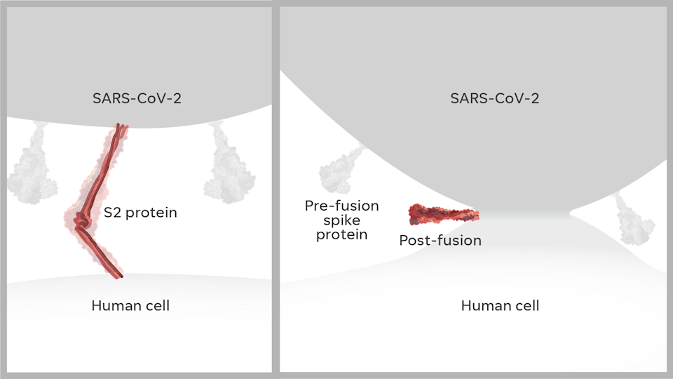 The S2 protein collapses down onto itself, pulling the two membranes together. After that fusion, the protein changes form and creates a pore that allows the virus to enter the cell.