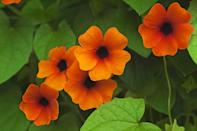 """<p>This fast-growing annual vine comes in creamy white and cheery oranges and yellows. Give Black-eyed Susan vine its own pot and trellis so it can climb to its heart's content, and create a colorful privacy screen too. It needs part to full sun.</p><p><a class=""""link rapid-noclick-resp"""" href=""""https://www.amazon.com/Seed-Needs-Black-Susan-Thunbergia/dp/B00JTKEHJM/ref=sr_1_2?tag=syn-yahoo-20&ascsubtag=%5Bartid%7C10050.g.30420939%5Bsrc%7Cyahoo-us"""" rel=""""nofollow noopener"""" target=""""_blank"""" data-ylk=""""slk:SHOP BLACK-EYED SUSAN VINE"""">SHOP BLACK-EYED SUSAN VINE</a></p>"""