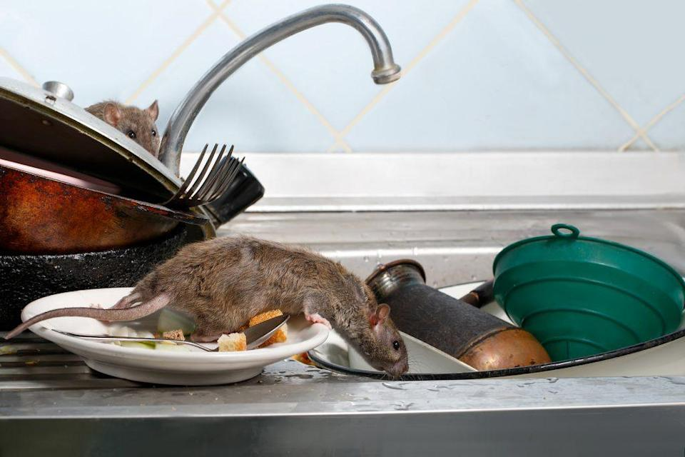 Giant rats: Taking over homes in the UK