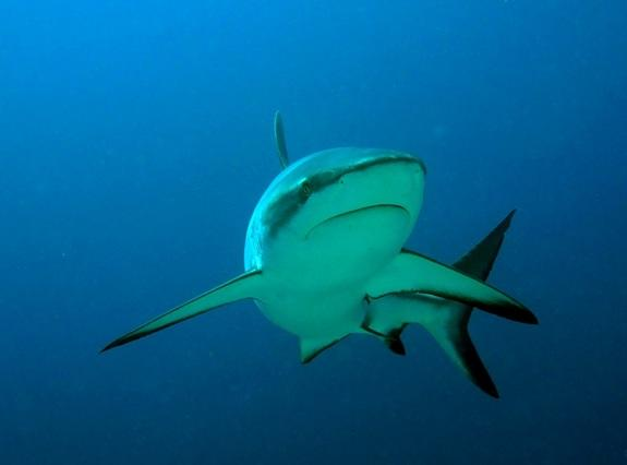 Sharks Thrive in Fiji's Protected Waters