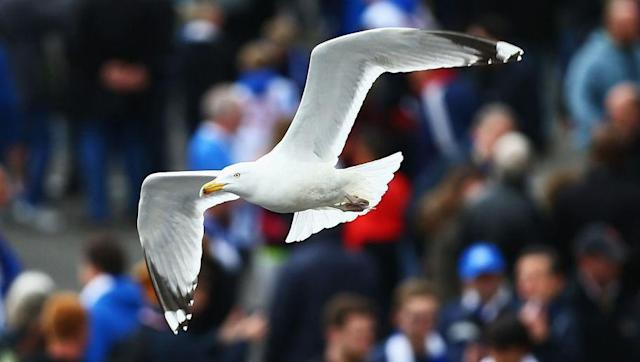 <p>Brighton's beachside location is responsible for the club's association with seagulls. But it apparently wasn't until the 1970s that the nickname caught on, supposedly surfacing as a result of a chanting match with rival Crystal Palace fans.</p> <br><p>Cries of 'Eagles' from Palace fans are said to have been met by chants of 'Seagulls' and things moved from there. Brighton then adopted a new club crest that included the seagull image in 1977, with their 2001/02 centenary the only season since in which a seagull hasn't featured.</p>