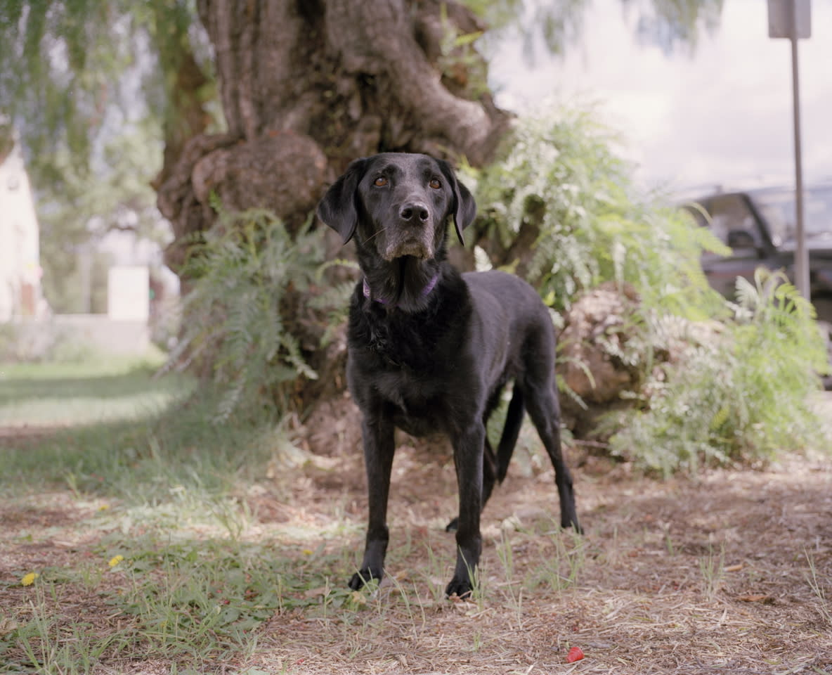 Abby, a black Labrador trained to lead rescue teams to trapped victims in disaster areas, including the wreckage of the World Trade Center.