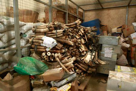 A pile of around 832 pieces of ivory weighing 2903kg (6400 pounds) that was seized by Ugandan officials in October.The Uganda Wildlife Authority says Uganda is increasingly being used as a transit country by poachers in states such as South Sudan and the Democratic Republic of Congo. REUTERS/James Akena/File Photo
