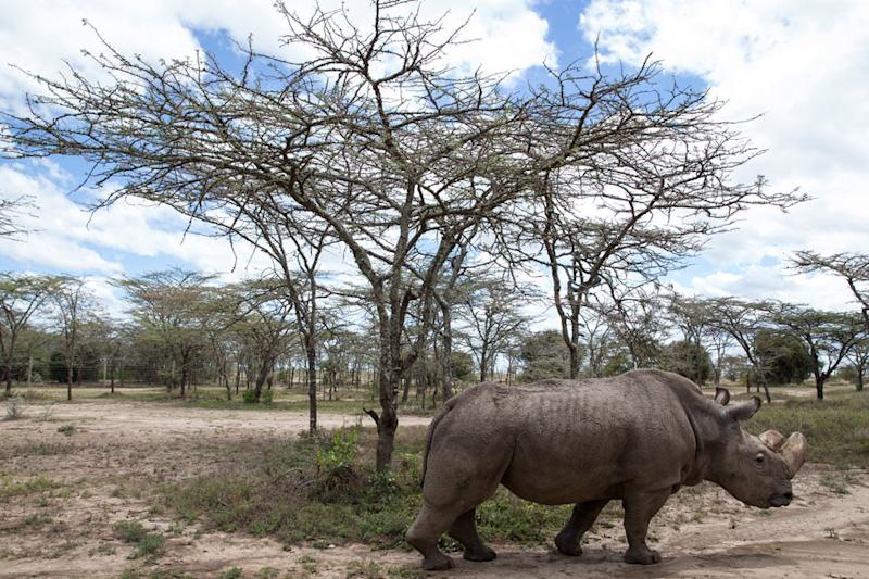 After Health Scare, World's Last Male Northern White Rhino on the Mend