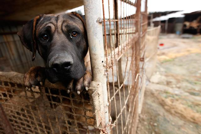 <p>A dog is shown locked in a cage at a dog meat farm in Wonju, South Korea on Monday, Nov. 21, 2016. Humane Society International provided all 150 dogs with vaccinations and warm bedding, and aims to close down the farm and rescue the dogs. HSI is the leading animal welfare organization working to end Asia's dog meat trade, including in South Korea where around 17,000 farms breed up to 2.5 million dogs for human consumption annually. HSI works in partnership with dog farmers interested in leaving the industry, and assists their transition to cruelty-free livelihoods. More information is available at www.hsi.org/dogmeat. (Woohae Cho/AP Images for The Humane Society of the United States) </p>