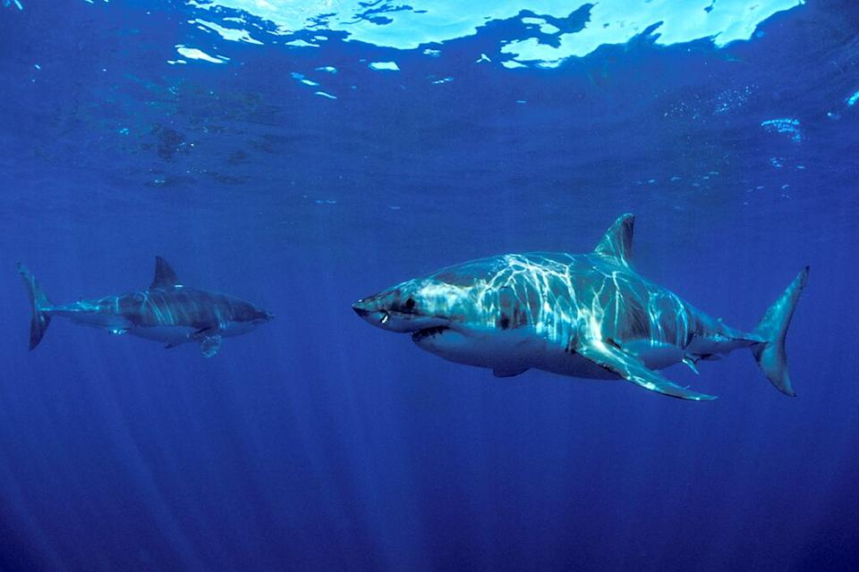 Great white sharks | OCEARCH