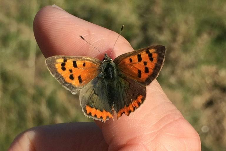 Species that rely on shaded areas, such as the Small Copper butterfly, have suffered steeper population declines over the last 40 years
