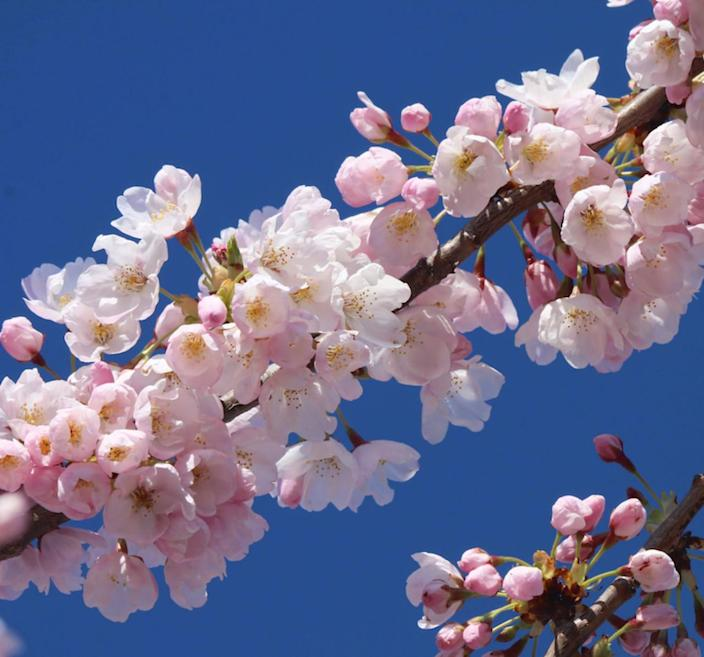 Toronto's High Park cherry blossoms to be enjoyed virtually (again)