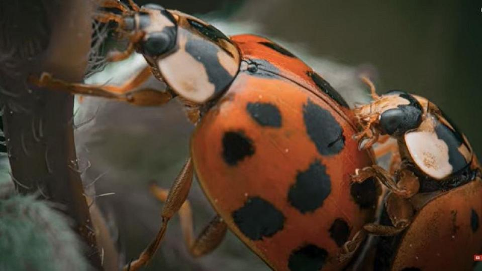 Macrophotography of a ladybug, from YouTuber Hans Heidler.