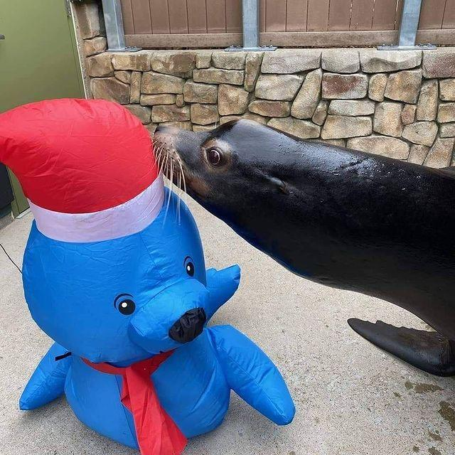 <p>The St. Louis Zoo's sea lion seems awfully interested in borrowing that Santa hat.</p>