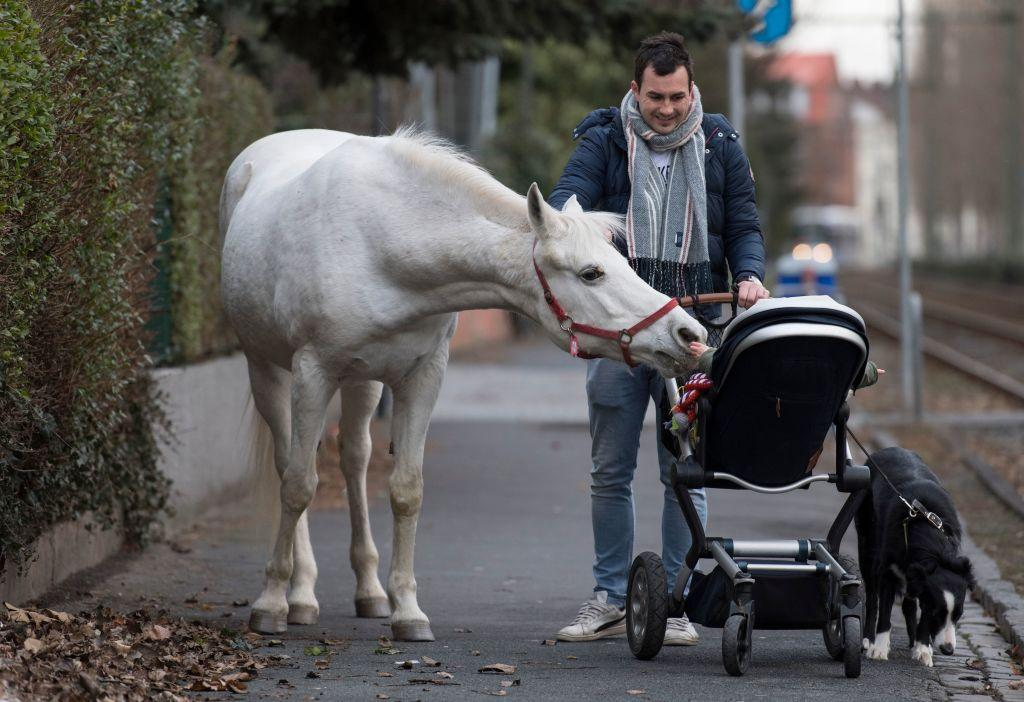 "<p>Horse ""Jenny"" inspects the baby of Raphael Wöllstein as he pushes the pram through the Fechenheim district of Frankfurt am Main, western Germany. The arabian mare is allowed to decide herself where she wants to spend her time, as her owner opens the stable door every day for his 22-years old horse. ""Jenny"" has fixed a sign on her holster, reading ""My name is Jenny. I've not escaped, just taking a stroll."" (Photo from Boris Roessler/AFP/Getty Images) </p>"