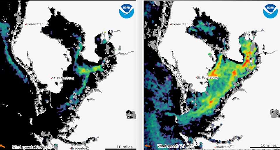 Satellite images show the red tide worsening between June 8 (left) and June 29 (right). Black shows regular water, green is low chlorophyll and red high. Source: NOAA