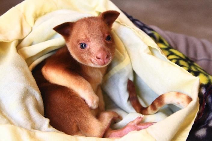 A Zoos South Australia photo of a baby Goodfellow's tree kangaroo known as a joey on a blanket at Adelaide Zoo (AFP Photo/Kate Fielder)