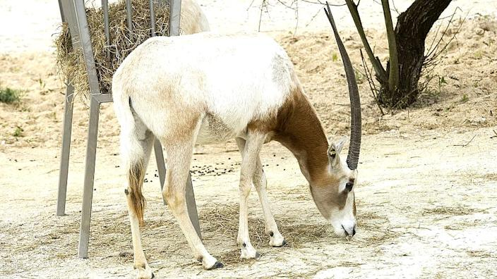 The scimitar-horned oryx is regarded as a conservation success story