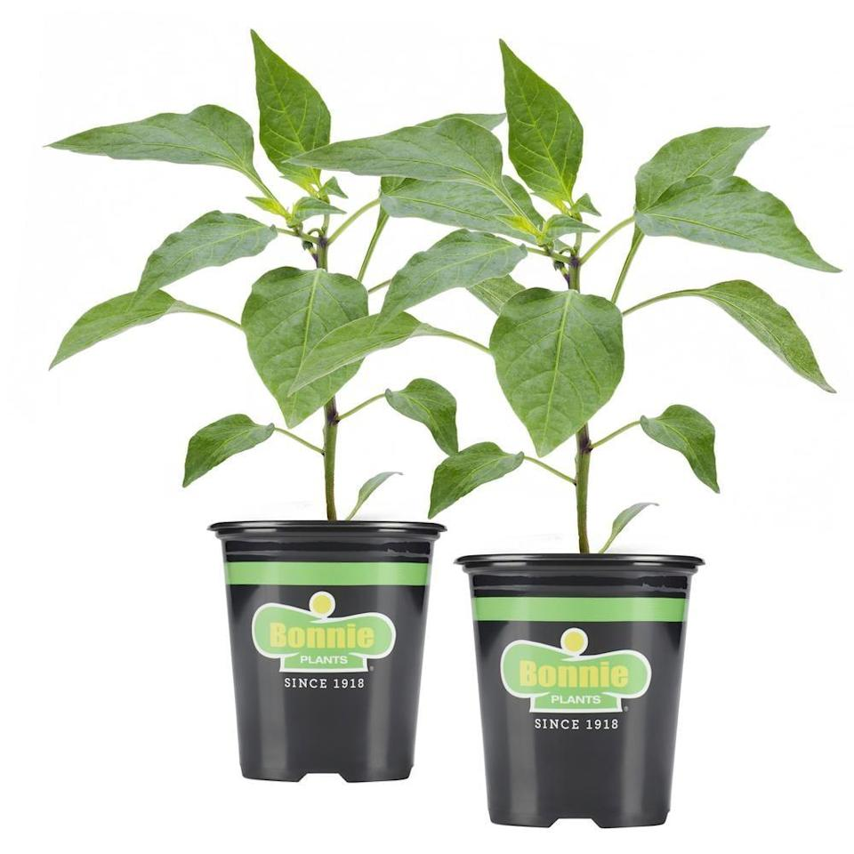 "<p>Add a little spice to your garden with this <a href=""https://www.popsugar.com/buy/Bonnie-Plants-Jalapeno-Pepper-571558?p_name=Bonnie%20Plants%20Jalapeno%20Pepper&retailer=homedepot.com&pid=571558&price=8&evar1=casa%3Aus&evar9=46114279&evar98=https%3A%2F%2Fwww.popsugar.com%2Fhome%2Fphoto-gallery%2F46114279%2Fimage%2F47449681%2FBonnie-Plants-Jalapeno-Pepper&prop13=api&pdata=1"" class=""link rapid-noclick-resp"" rel=""nofollow noopener"" target=""_blank"" data-ylk=""slk:Bonnie Plants Jalapeno Pepper"">Bonnie Plants Jalapeno Pepper</a> ($8).</p>"