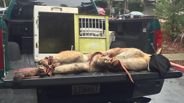 San Francisco police and game wardens watched for hours for a young male mountain lion from the rooftops of a city neighborhood before bringing it down with tranquilizer darts.