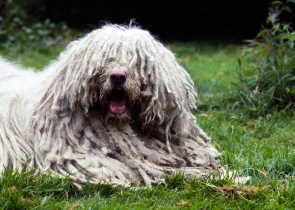 """<div class=""""caption-credit""""> Photo by: Sally Anne Thompson, Animal Photography</div><b>Komondor</b> <br> The <a rel=""""nofollow noopener"""" href=""""http://www.vetstreet.com/dogs/komondor?WT.mc_id=cc_yahoo"""" target=""""_blank"""" data-ylk=""""slk:Komondor"""" class=""""link rapid-noclick-resp"""">Komondor</a> has worked as a flock-guarding dog in Hungary for a thousand years. Her job, however, was not to herd animals - but rather to guard flocks from predators and thieves by fearlessly springing into action."""