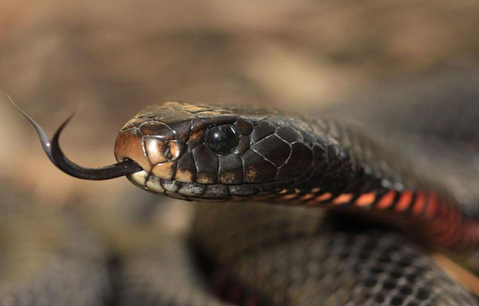 Australia's 'cannibal' mouse infestation could be followed by a snake plague