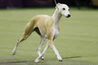 Bourbon, the whippet, competes during the 144th Westminster Kennel Club dog show, Tuesday, Feb. 11, 2020, in New York. (AP Photo/John Minchillo)