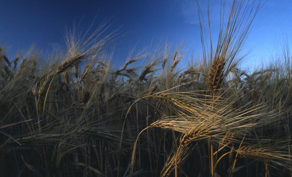 Wheat field.  (Photo by Miguel Palacios/Cover/Getty Images)