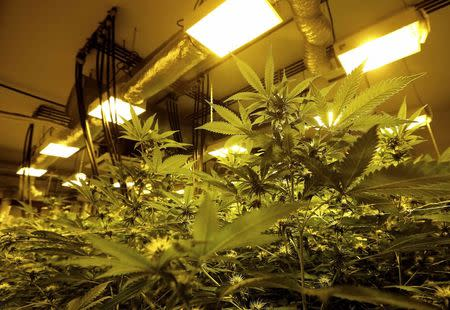 Cannabis plants are pictured in a grow room in a state-owned agricultural farm in Rovigo, about 60 km  (40 miles) from Venice, September 22, 2014.    REUTERS/Alessandro Bianchi