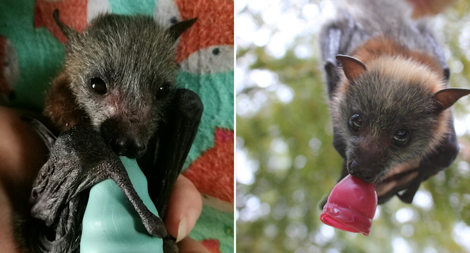 Split screen. Left - a young flying fox holds a green teat. There is a colourful rug behind it. Right - a baby flying fox hangs down suckling a pink teat.
