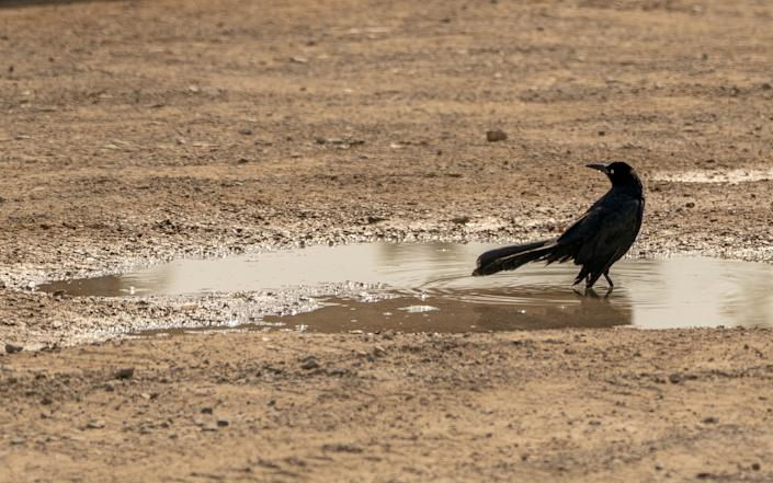 A bird stands in a puddle in Bullhead City, Arizona, U.S., on Wednesday, June 16, 2021. (Kyle Grillot/Bloomberg via Getty Images)
