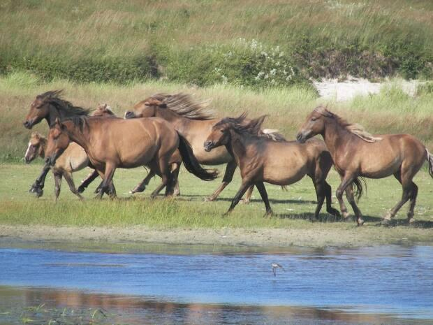Horses have roamed Sable Island since the 18th century. The Air Force is considering setting up a fuel cache and accessing the helicopter landing pads on the island to improve its rescue abilities.  (Philip McLoughlin - image credit)