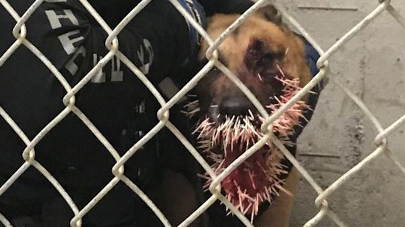 Odin was punctured by 200 porcupine quills. (Coos County Sheriff's Office)
